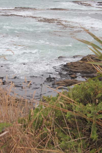Endangered Yellow eyed penguin on the rocks - can you spot him?
